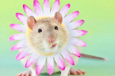 Tak słodkich zdjęć szczurów nie zrobił wcześniej nikt inny!