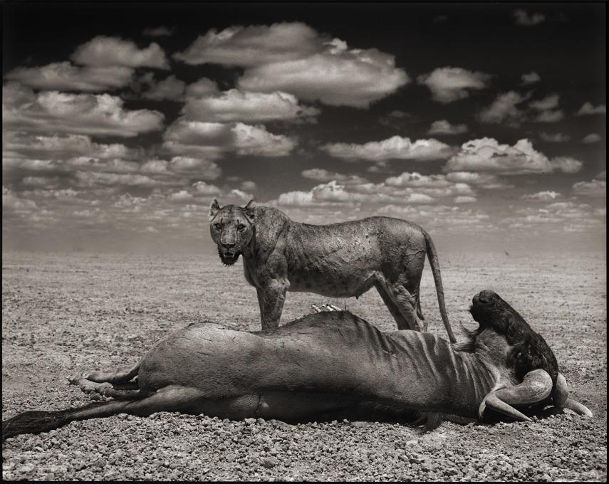 Lion with Wildebeest